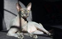 razas de gatos sin pelo