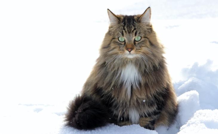Bosque De Noruega Raza De Gato Hola Mascotas