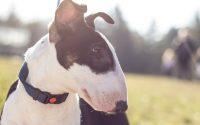 Perro de raza Bull Terrier blanco y negro.