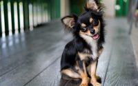 Perro de raza Chihuahua negro y fuego.