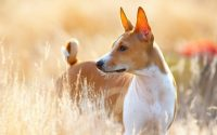 Perro de raza Basenji parado en un campo.