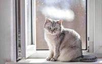 Gato British Shorthair gris de pelo corto sentado frente a una ventana.