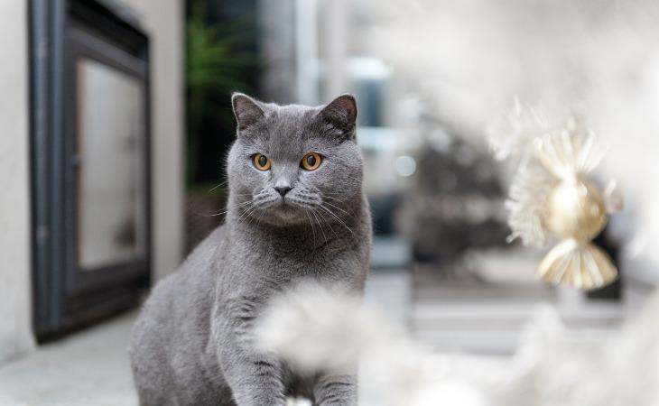 Gato British Shothair con ojos dorados