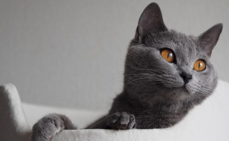 Gato de Chartreux en una cesta.