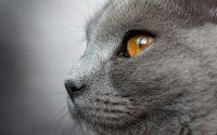 Gato Chartreux con ojos dorados.