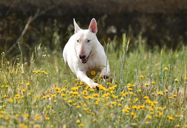 La forma del cráneo del Bull Terrier lo hace fácilmente reconocible.