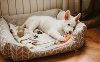Cachorro blanco tumbado en su cesta masticando un juguete.
