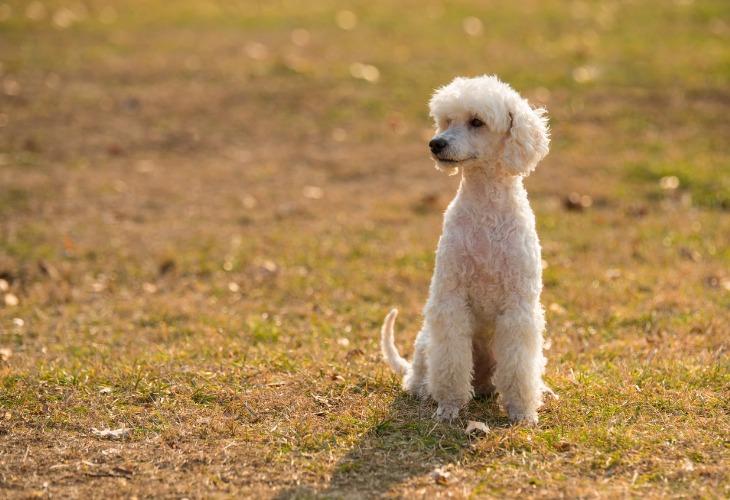 El caniche es uno de los perros más inteligentes.