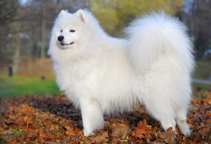 El samoyedo es un perro de la familia de los spitz.