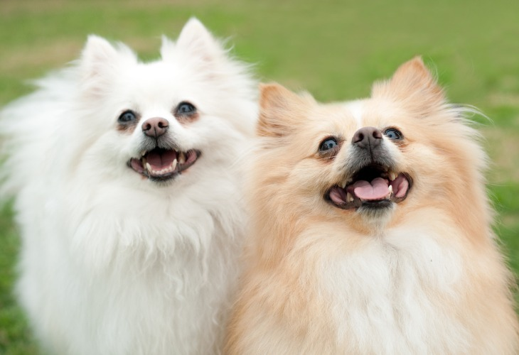 Los Spitz alemanes son perros alegres y cariñosos.