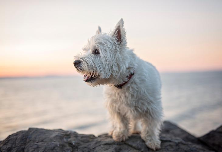 El Westie es un perro pequeño robusto.