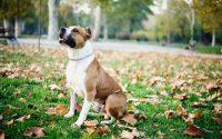 Perro American Staffordshire Terrier sentado en la hierba.