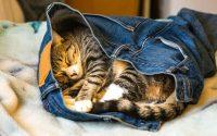gato en un par de pantalones vaqueros para dormir.