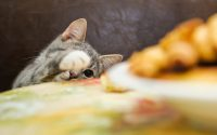 Gato que intenta robar comida.