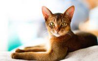 Joven gato abisinio tumbado en una cama.