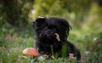 Perro Affenpinscher tumbado en la hierba.