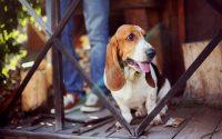 Perro Basset Hound sentado en una terraza.