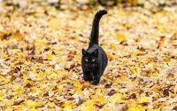 gato negro caminando entre las hojas con la cola levantada.