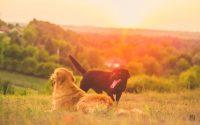 Las differencias entre el Golden Retriever y el Labrador.
