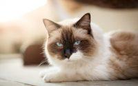 Gato de raza Ragdoll alargado