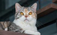Gato de raza American Wirehair