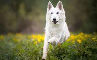 Perro pastor suizo blanco corriendo en la hierba.