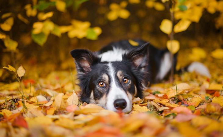 Perro Border Collie tumbado sobre las hojas.