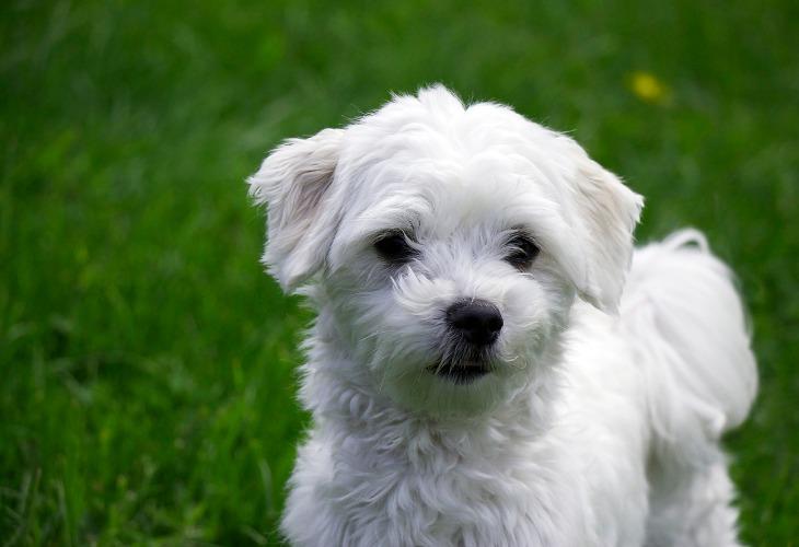 Cachorro Maltés blanco.