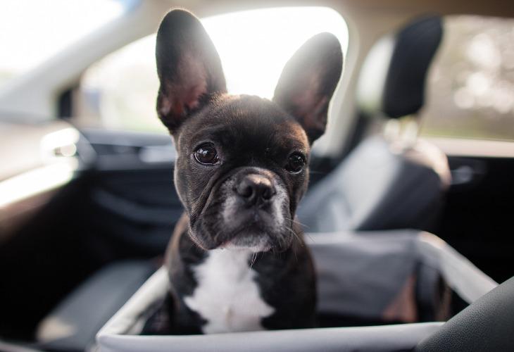 El Bulldog Francés brilla por su lealtad a su amo.