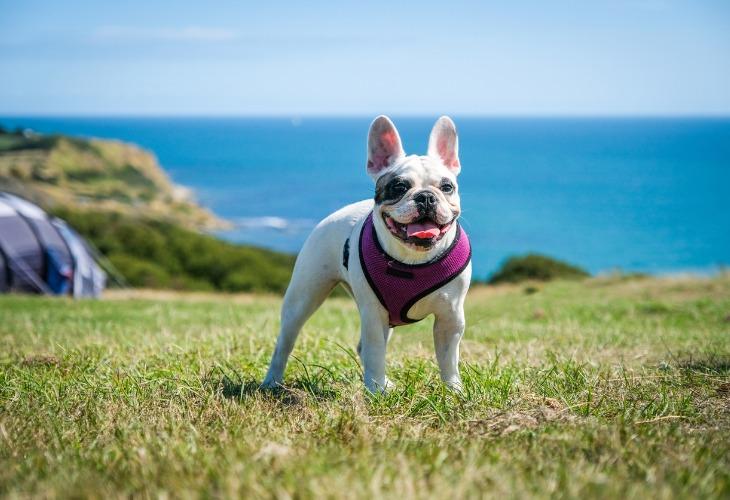 El pelaje corto del Bulldog Francés hace que sea muy fácil de cuidar.