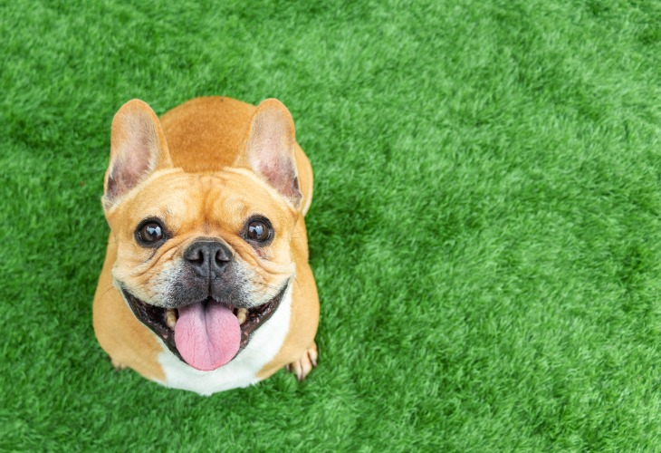 El Bulldog Francés tiene ojos saltones.