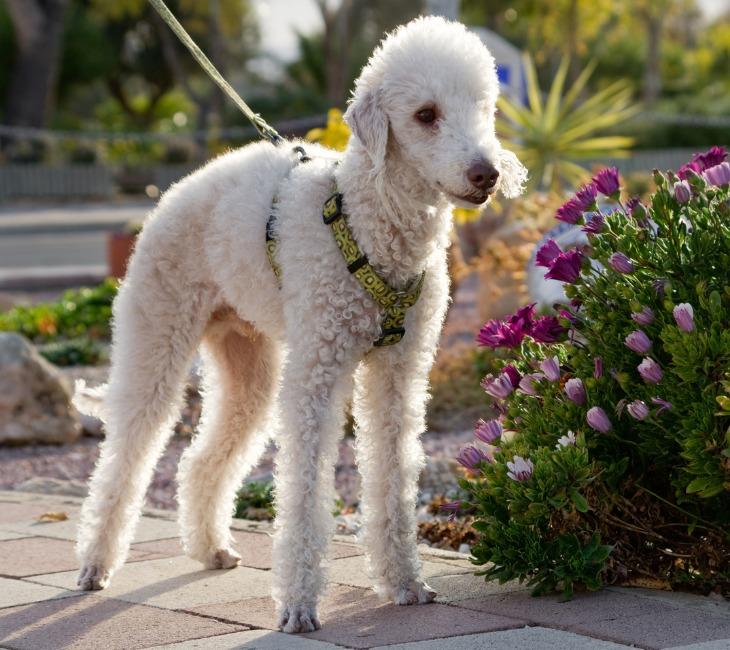 El Bedlington Terrier es un perro inteligente, orgulloso y de gran confianza.