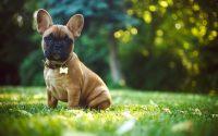 Perrro de raza Bulldog francés.