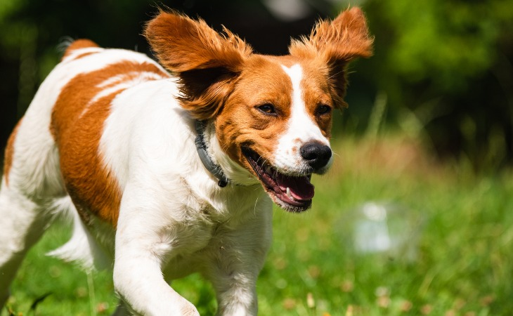 Spaniel de Bretaña: razas de perros franceses.