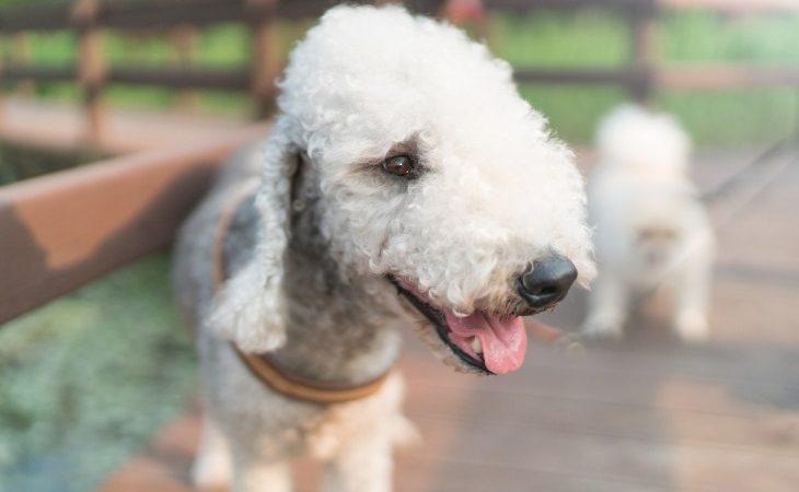 Retrato de une perro de raza Bedlington Terrier.