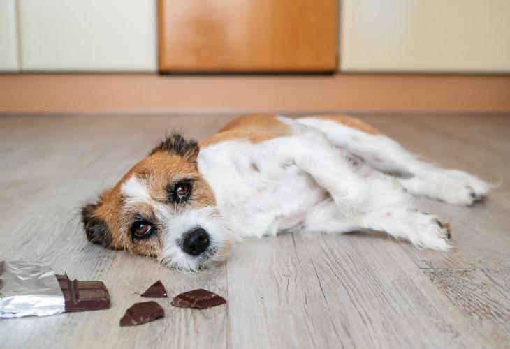 Si hay un alimento que no debes dar a tu perro, es el chocolate.