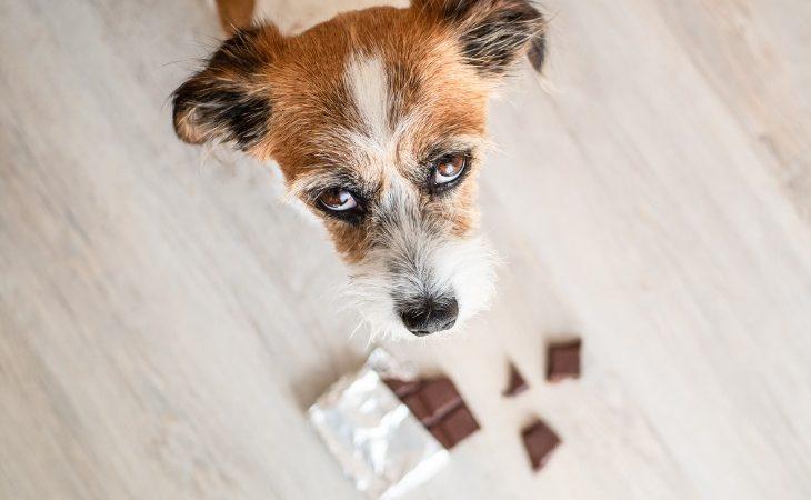 Descubre 10 alimentos peligrosos para perros.